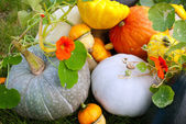 Pumpkins and marrows crop — Stock Photo