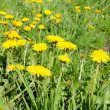 Spring dandelion in green grass — Stock Photo