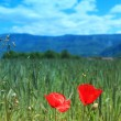 Two Poppy flowers against the blue sky — Stock Photo