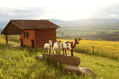 Three goats, small farm in swiss alps landscape — Stockfoto