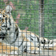 Tiger in metal cage, close-up — Stock Photo