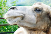 Shot of the camel's head close up — Stock Photo