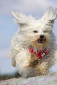 Havanese with ears flying — Stock Photo