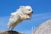 Havanese jumping — Stock Photo
