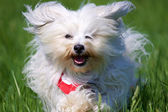Long-haired dog in the fast running — Stock Photo