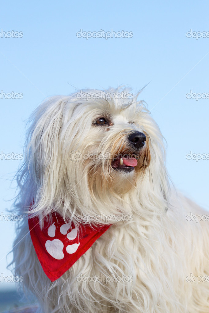 Portrait of a Havanese dog breeds, dog sits easily in the profile. Red bandana with a   Stock Photo #10946555