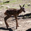 Young fawn — Stock Photo