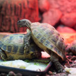 Two turtles in city zoo - Stock Photo