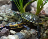Bright green terrapins — Stock Photo