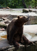Brown bear in city zoo — Fotografia Stock