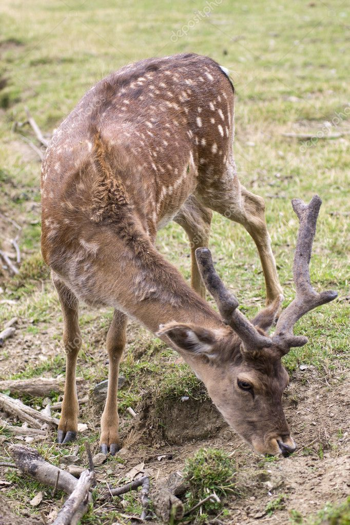 Roe deer in captivity — Stock Photo #11047043