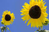 Sun flowers against a blue sky — Stock Photo