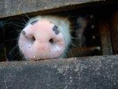 морда свиньи — Стоковое фото