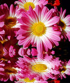 Chrysanthemum flowers reflected — Foto de Stock