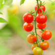 Growing cherry tomatoes, shallow deep of field, selective focus — Stock Photo