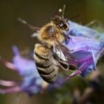 Biene auf der Blüte — Stock Photo #12043128