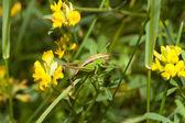 Grashüpfer auf Wiese — Stock Photo
