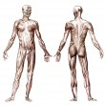 Постер, плакат: Human muscular system