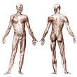 Hummuscular system — Stock Photo #10829171