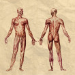 ������, ������: Human muscular system old print