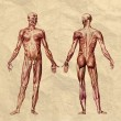 Human muscular system old print - Stock Photo
