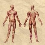 Постер, плакат: Human muscular system old print