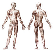 Human muscular system — Stock Photo