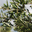 Young green olives in olive tree — Stock Photo