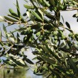Stock Photo: Young green olives in olive tree