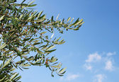 Olive tree branch against blue sky — Стоковое фото