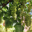 Fresh green grapevine growing - Stock Photo