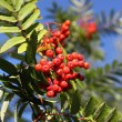 Rowan in autumn with red berries — Stock Photo