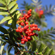 Rowan in autumn with red berries - Stock Photo