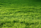 Natural green grass — Stock Photo