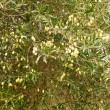 Stock Photo: Olive tree harvest time with bright yellow green olives