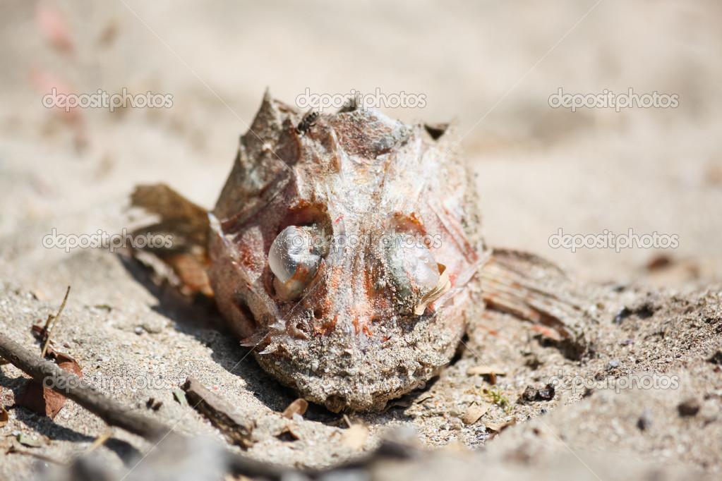 Close up of the head of a fish laying in the sand dehydrated by the sun after sacrificing its body to the food chain. — Stock Photo #11117500