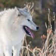 Stock Photo: Young Arctic Wolf