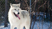 White Arctic Wolf — Stock Photo