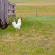White Rooster Black Hen — Stock Photo #11636203