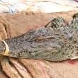 Freshwater crocodile - Stockfoto