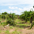 Dragon fruit trees - Foto Stock