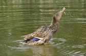 Setřásl do vody — Stock fotografie