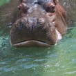 Face to face with a hippopotamus — Stock Photo
