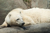 Wet polar bear — Stock Photo