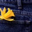 Stock Photo: Daffodil in Shirt Pocket