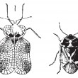 Left - HemipterHeteroptera, tiger bug or lace bug, Right - Nez — Vecteur #10995254