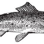 Salmon vintage engraving — Stock Vector #10995527