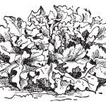 Prickly Lettuce or Lactuca serriola, vintage engraving — Stock Vector #10995551