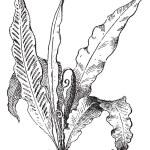 Hart's Tongue Fern or Asplenium scolopendrium, vintage engraving — Stock Vector #10995560