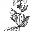Mock-orange, vintage engraving. - Stockvektor